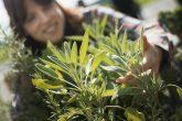A woman tending herb sage plants an an organic farm.