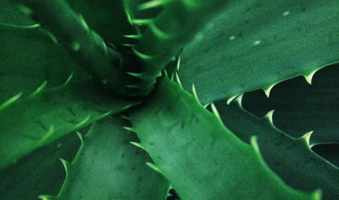 Close up of an aloe plant