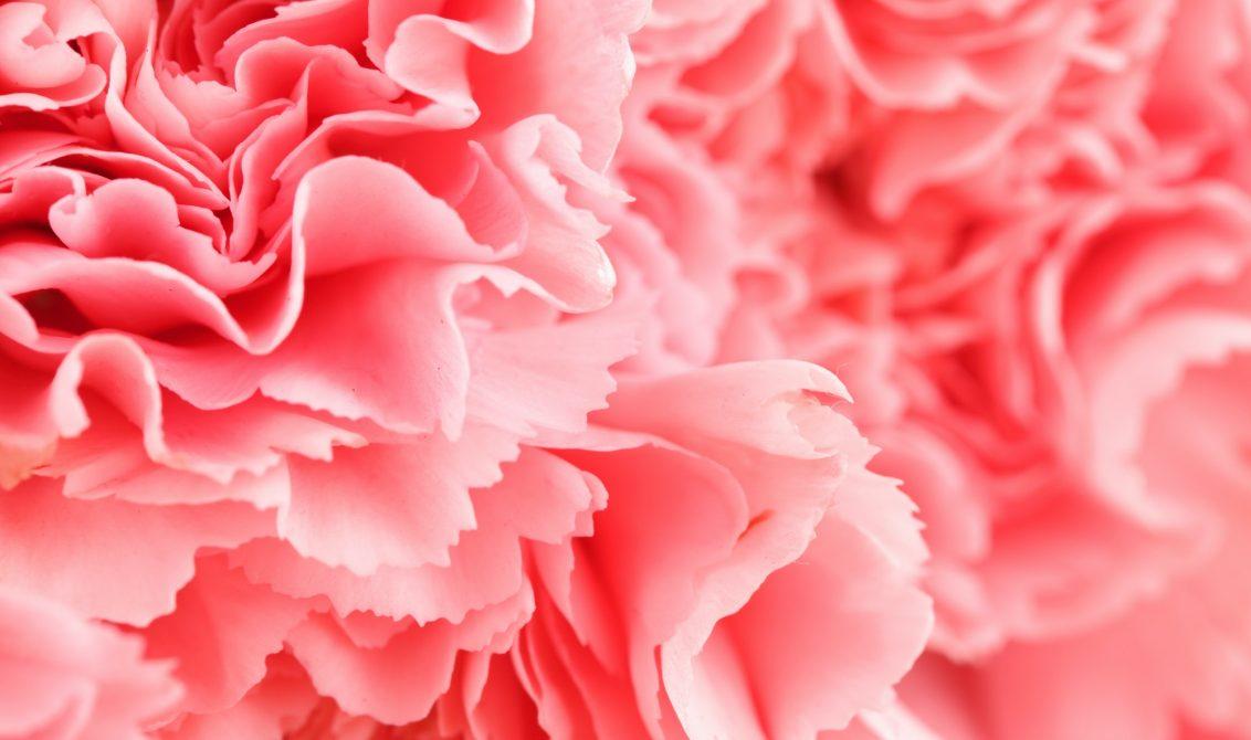Pink carnation flower close up
