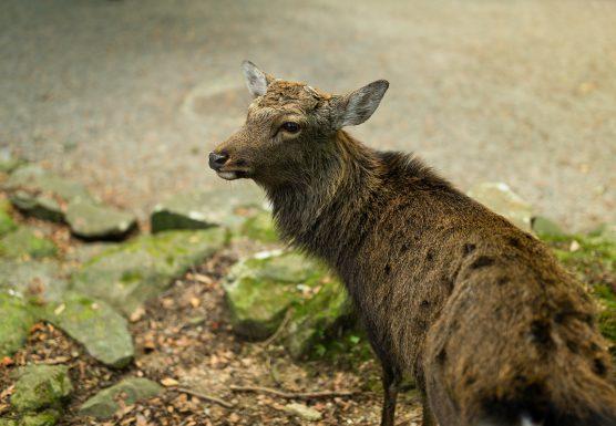 stag-deer-556x385.jpg