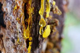 Yellow amber drop of resin close-up on a conifer tree